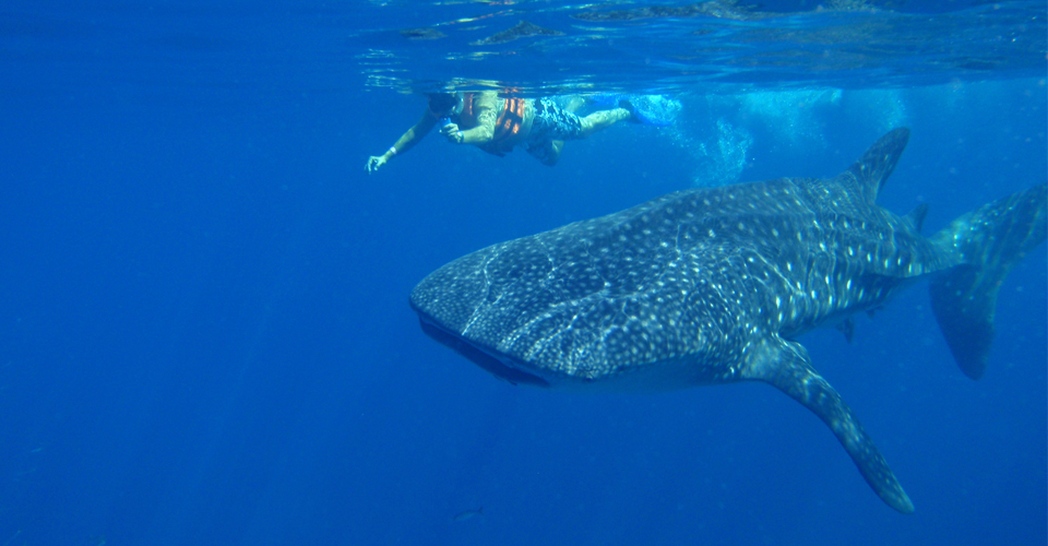 Swimming with Whale Sharks in Mexico/Central America