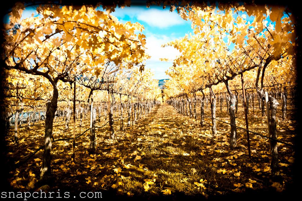 Napa Vineyards in Autumn, California