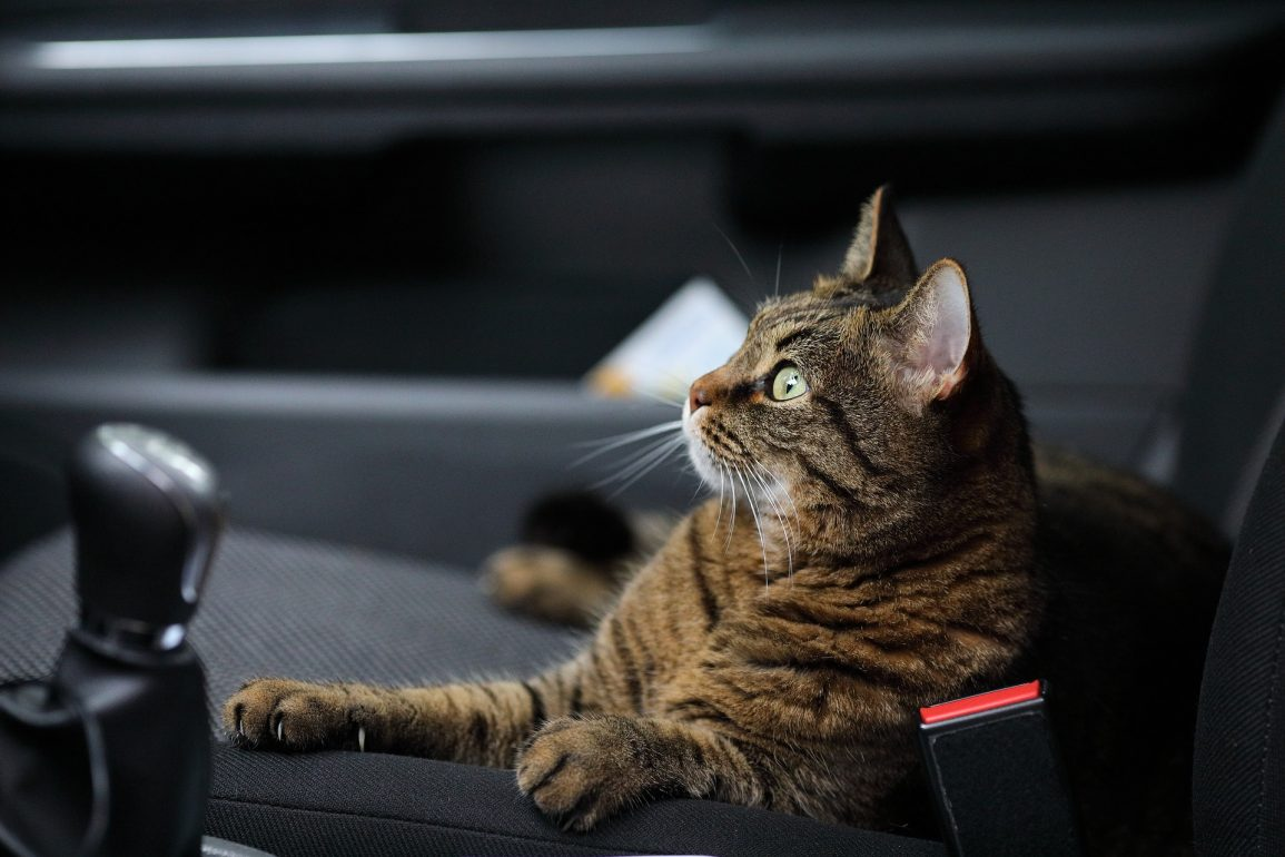 Cat in a Car on a Long-Distance Road Trip