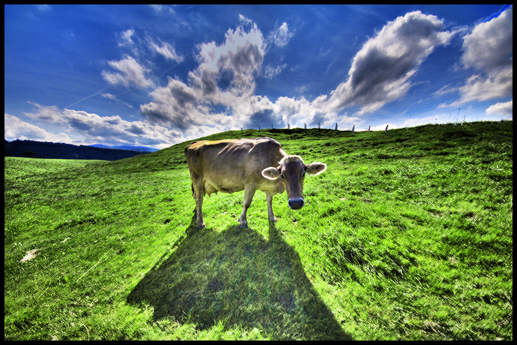 Cow in a bright green pasture, Switzerland