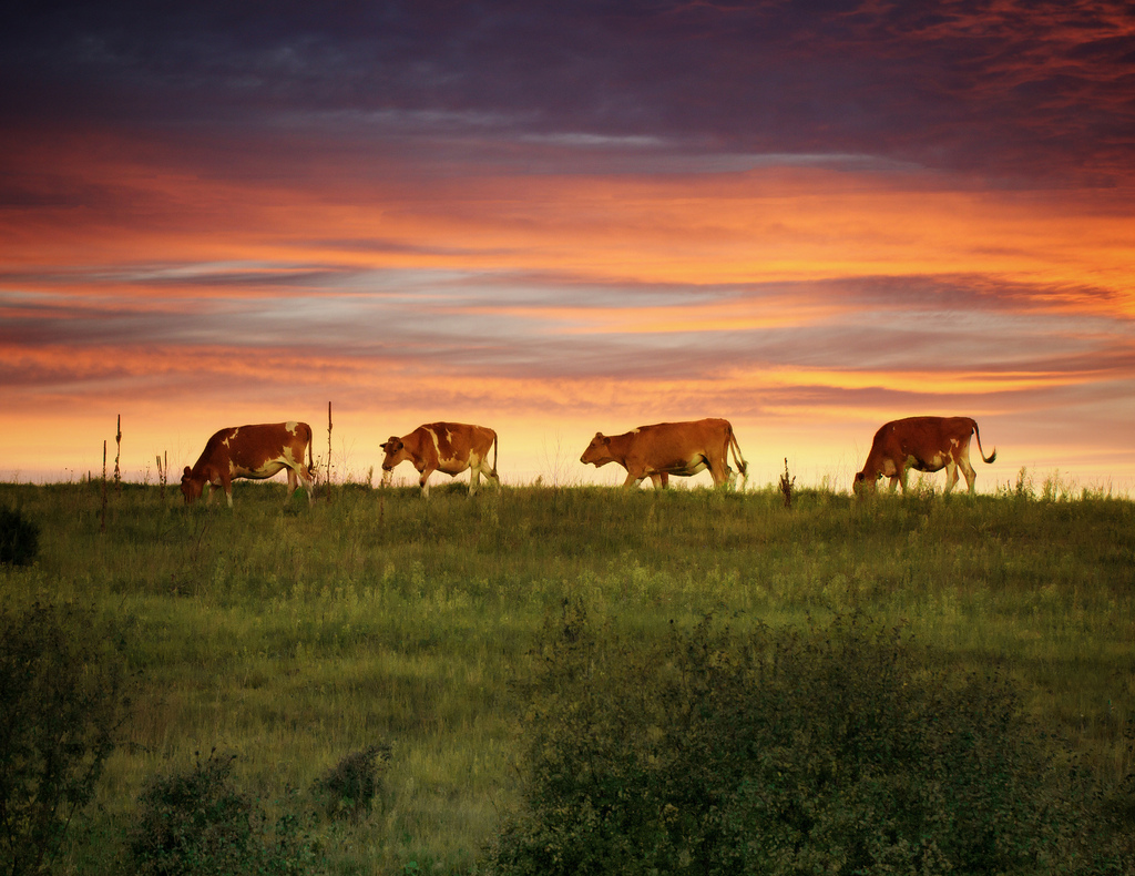 Line of cows in a field, Wisconsin
