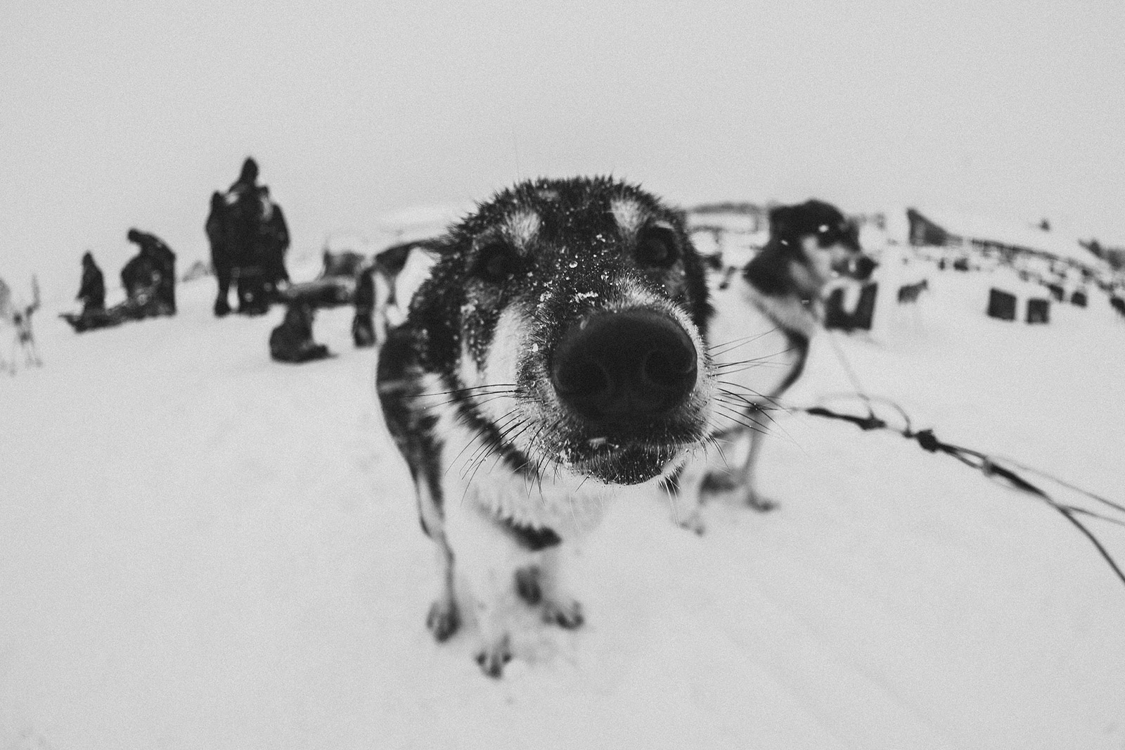 Closeup of sled dog in Norway