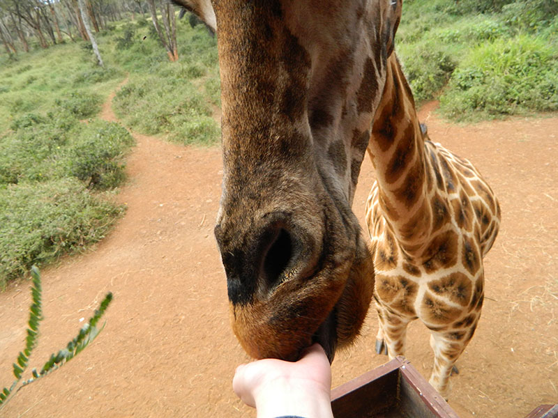 Closeup with Giraffe, Giraffe Centre in Nairobi, Kenya