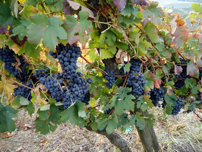 Grapes on the Vine, Italy