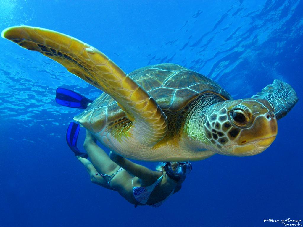 Green Sea Turtle Taking it Slow in Tenerife, Spain