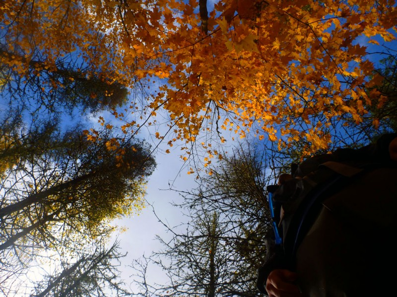 Low angle of leaves looking up in La Mauricie National Park in Quebec, Canada