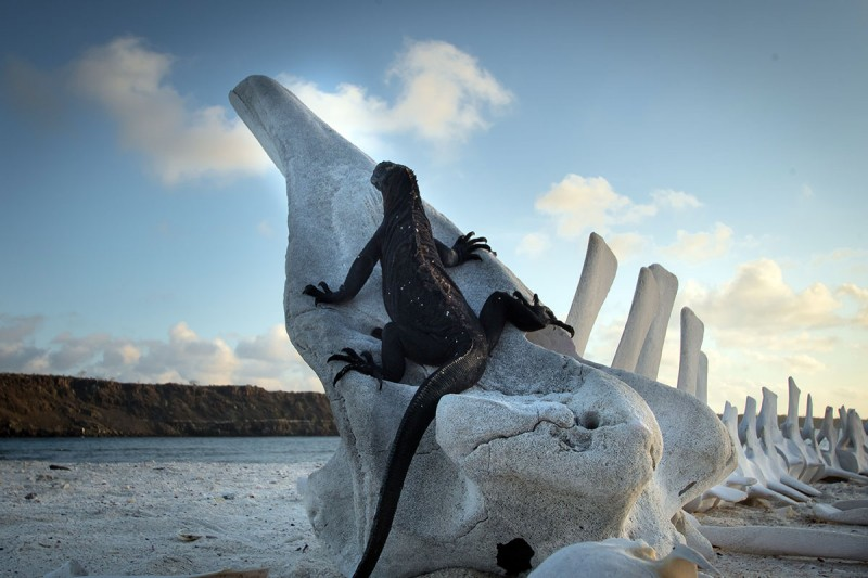 An Iguana on a Whale Skull in Galapagos National Park