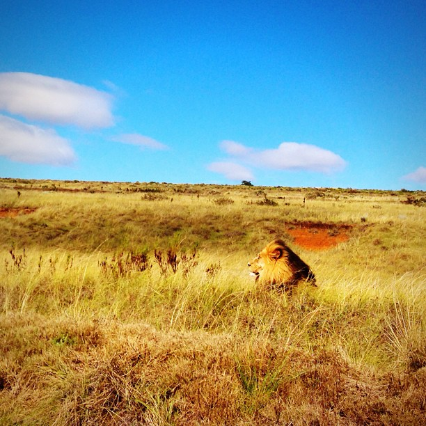 Lone lion basks in the midday sun at Gondwana Game Reserve, South Africa