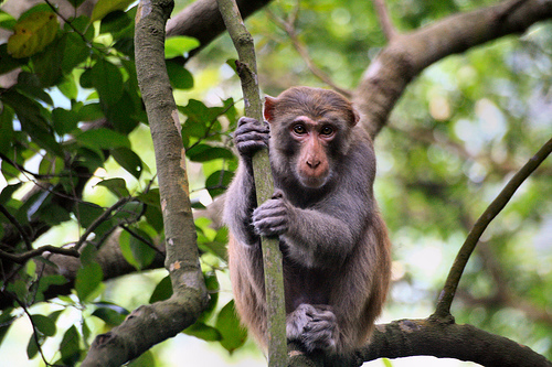 Closeup of Macaque in Tree