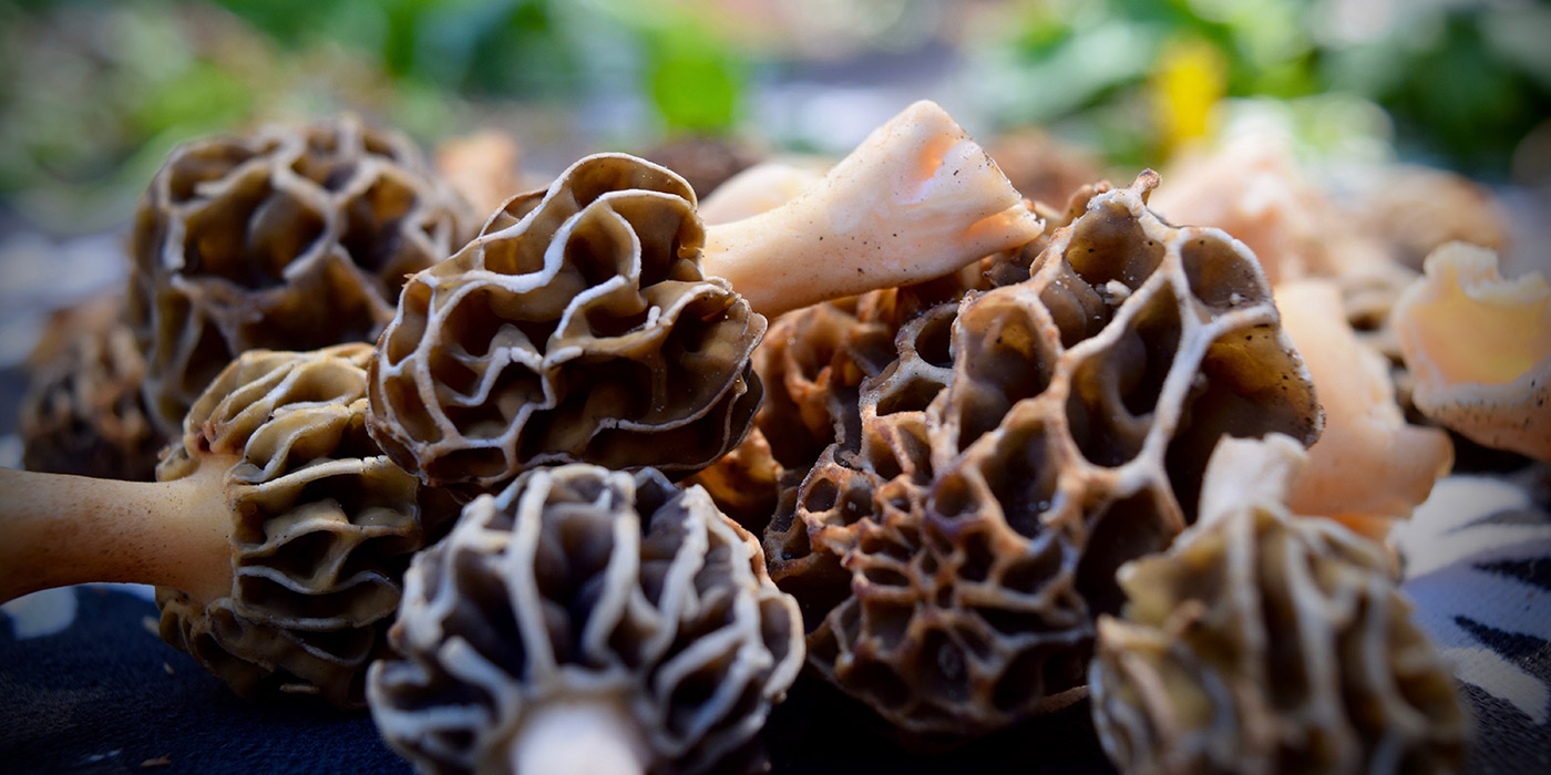 Wild Morel Mushrooms in North Carolina (closeup)