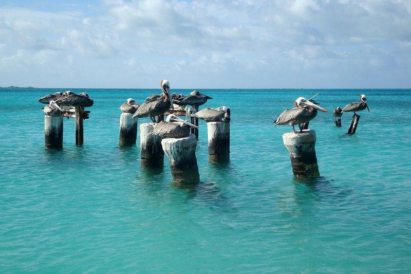 Pelicans at Dos Mosquises, Venezuela