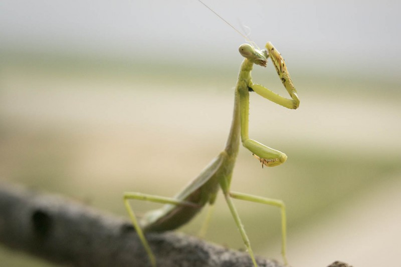 Macro of a praying mantis on a branch