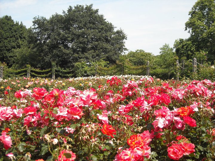Queen Mary's Rose Gardens in Regent's Park, London