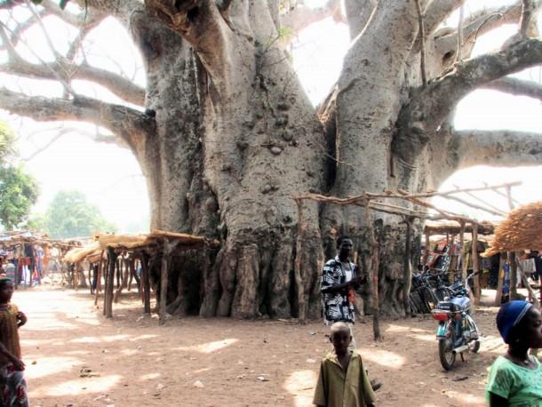 Strange Tree in Baobab, Madagascar