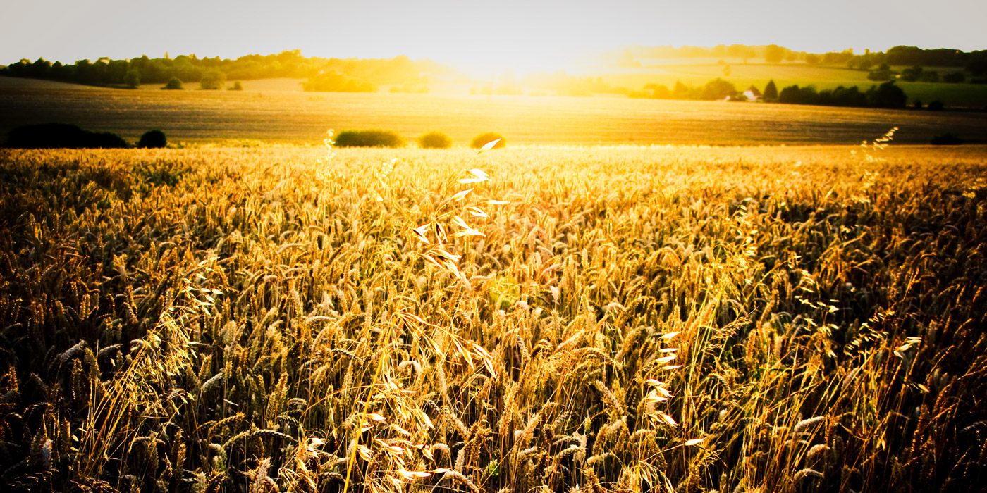 Sunset Over a Wheat Field in Essex