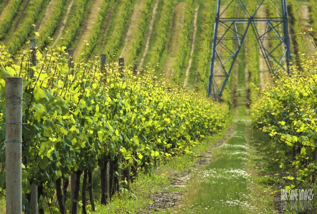 The Vineyards of Mount Angel, Oregon