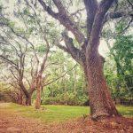 Live Oak Trees at Wormsloe Plantation in Savannah, GA